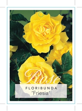 Picture of ROSE FRIESIA (FL)
