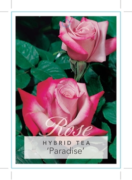 Picture of ROSE PARADISE (HT)