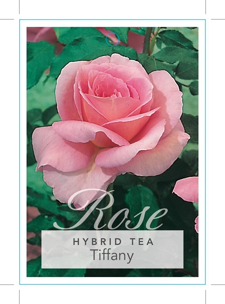 Picture of ROSE TIFFANY (HT)