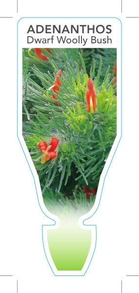 Picture of **ADENANTHOS SERICEUS DWARF FORM ALBANY WOOLLY BUSH