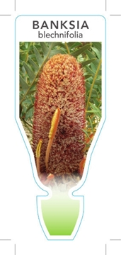 Picture of BANKSIA BLECHNIFOLIA