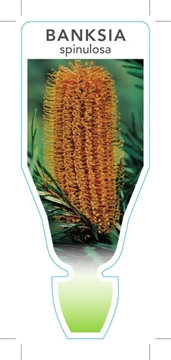 Picture of **BANKSIA SPINULOSA HAIRPIN