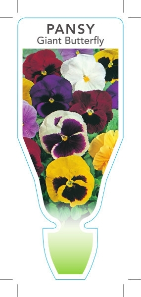 Picture of **ANNUAL PANSY GIANT BUTTERFLY (Viola x wittrockiana)