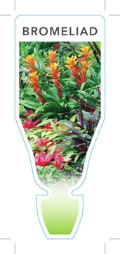 Picture of HOUSEPLANT BROMELIAD - MIXED PICTURE (UNNAMED VARIETY)