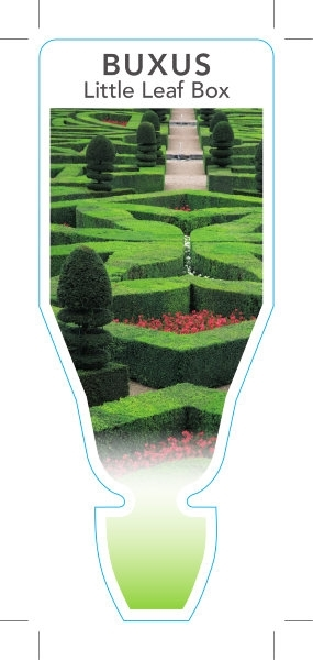 Picture of **BUXUS MICROPHYLLA LITTLE LEAF BOX