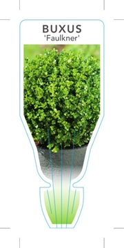 Picture of **BUXUS MICROPHYLLA FAULKNER