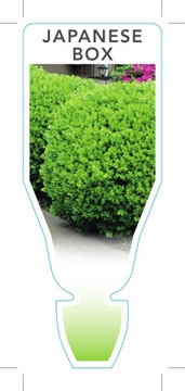 Picture of BUXUS MICROPHYLLA VAR JAPONICA JAPANESE BOX