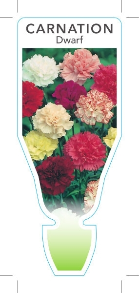 Picture of ANNUAL DIANTHUS CARNATION DWARF (Dianthus caryophyllus)