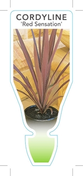 Picture of **CORDYLINE RED SENSATION