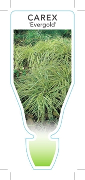 Picture of CAREX OSHIMENSIS EVERGOLD