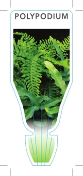 Picture of FERN POLYPODIUM (UNNAMED VARIETY)