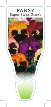 Picture of **ANNUAL PANSY SUPER SWISS GIANTS MIXED (Viola x wittrockiana)