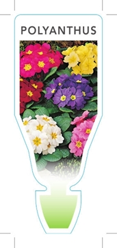 Picture of ANNUAL POLYANTHUS MIXED PICTURE (Primula acaulis hybrid)