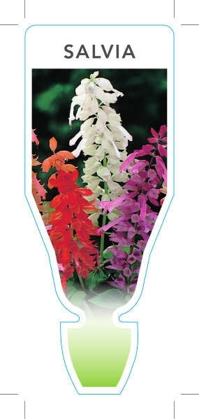 Picture of ANNUAL SALVIA MIXED PICTURE (UNNAMED VARIETY)