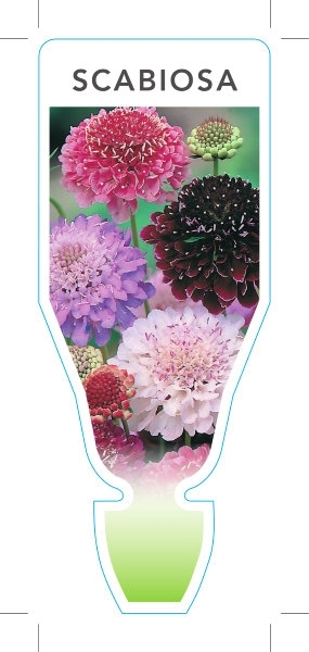 Picture of **SCABIOSA MIXED PICTURE (UNNAMED VARIETY)
