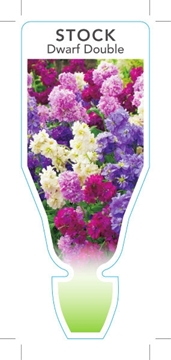 Picture of **ANNUAL STOCK DOUBLE DWARF (Matthiola incana)