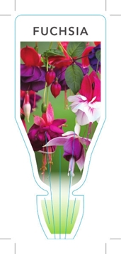 Picture of FUCHSIA MIXED PICTURE (UNNAMED VARIETY)