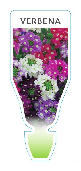 Picture of ANNUAL VERBENA MIXED PICTURE (Verbena x hybrida)