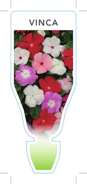 Picture of ANNUAL VINCA MIXED PICTURE (Catharanthus roseus)