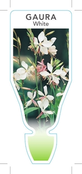 Picture of **GAURA WHITE