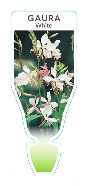 Picture of GAURA WHITE