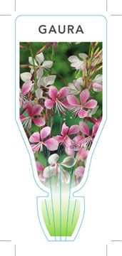 Picture of GAURA LINDHEIMERI (Mixed Picture)