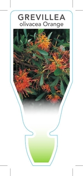 Picture of **GREVILLEA OLIVACEA ORANGE OLIVE LEAVED