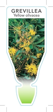 Picture of GREVILLEA OLIVACEA YELLOW OLIVE LEAVED