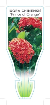 Picture of **IXORA CHINENSIS PRINCE OF ORANGE