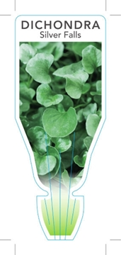 Picture of HOUSEPLANT DICHONDRA SILVER FALLS