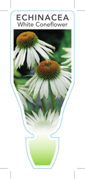 Picture of **ECHINACEA PURPUREA ALBA WHITE CONEFLOWER