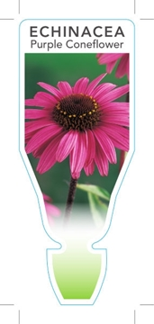 Picture of **ECHINACEA PURPUREA PURPLE CONEFLOWER