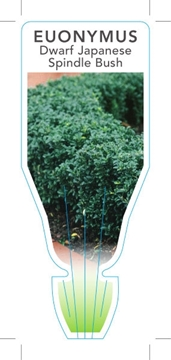 Picture of EUONYMUS JAPONICUS MICROPHYLLUS DWARF SPINDLE