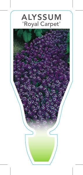 Picture of **ANNUAL ALYSSUM ROYAL CARPET (Lobularia maritima)