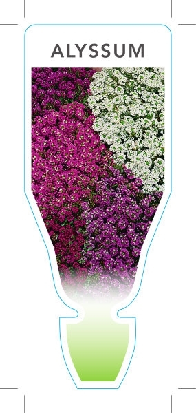 Picture of **ANNUAL ALYSSUM MIXED PICTURE (UNNAMED VARIETY) (Lobularia maritima)