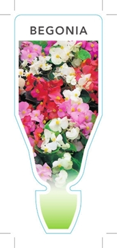 Picture of HOUSEPLANT BEGONIA MIXED PICTURE (UNNAMED VARIETY) (Begonia semperflor