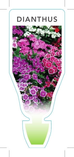 Picture of ANNUAL DIANTHUS MIXED PICTURE (Dianthus sp)