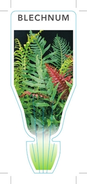 Picture of FERN BLECHNUM (UNNAMED VARIETY)