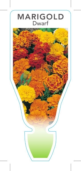Picture of **ANNUAL MARIGOLD DWARF (Tagetes patula)