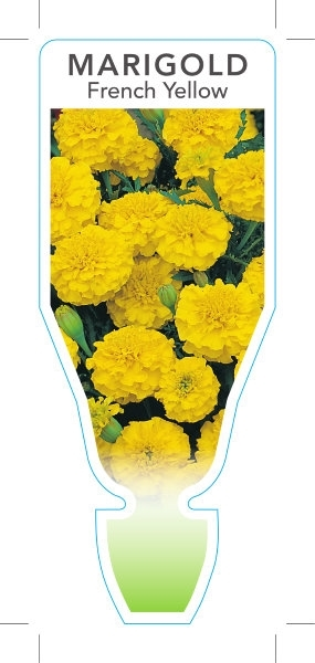 Picture of **ANNUAL MARIGOLD FRENCH YELLOW (Tagetes patula)