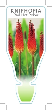 Picture of **KNIPHOFIA RED HOT POKER