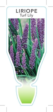 Picture of **LIRIOPE MUSCARI TURF LILY