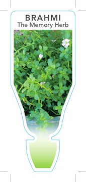 Picture of HERB BRAHMI THE MEMORY HERB (Bacopa monnieri)