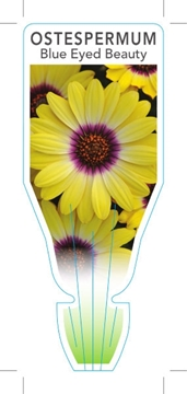 Picture of OSTEOSPERMUM BLUE EYED BEAUTY