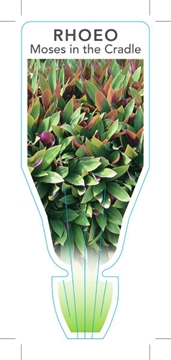 Picture of **HOUSEPLANT TRADESCANTIA SPATHACEA (SYN RHOEO SPATHACEA)