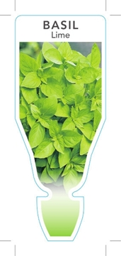 Picture of **HERB BASIL LIME (Ocimum americanum)