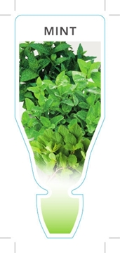 Picture of HERB MINT (Mentha sp)
