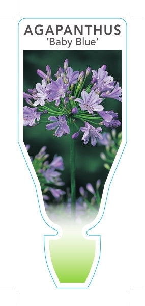 Picture of **AGAPANTHUS BABY BLUE