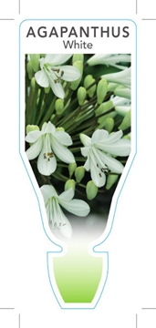 Picture of AGAPANTHUS WHITE