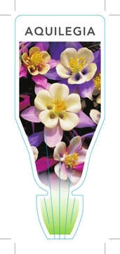 Picture of AQUILEGIA - MIXED PICTURE (UNNAMED VARIETY)